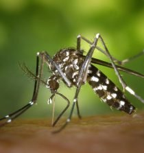 tiger mosquito 49141 1280